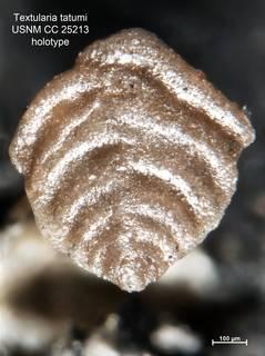 To NMNH Paleobiology Collection (Textularia tatumi CC25213 holo 1)