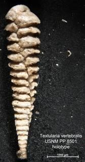 To NMNH Paleobiology Collection (Textularia vertebralis PP8501 holo 1)