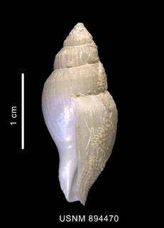 To NMNH Extant Collection (Paradmete sp. shell lateral view)