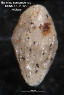 To NMNH Paleobiology Collection (Bulimina carnerosensis CC 20122 holo)