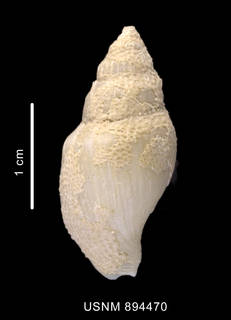 To NMNH Extant Collection (Paradmete sp.shell dorsal view)