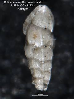 To NMNH Paleobiology Collection (Bulimina sculptilis paucicostata CC 43182A holo side)
