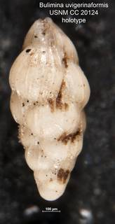 To NMNH Paleobiology Collection (Bulimina uvigerinaformis CC 20124 holo)