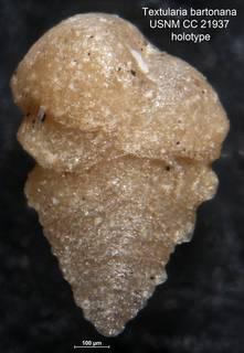 To NMNH Paleobiology Collection (Textularia bartonana USNM CC 21937 holotype 1)