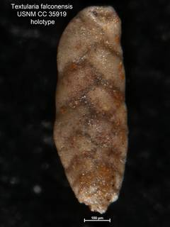 To NMNH Paleobiology Collection (Textularia falconensis USNM CC 35919 holotype 1)