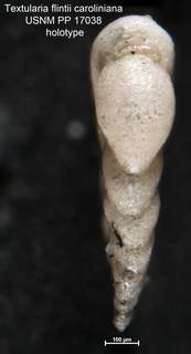 To NMNH Paleobiology Collection (Textularia flintii caroliniana USNM PP 17038 holotype 2)