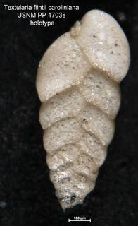 To NMNH Paleobiology Collection (Textularia flintii caroliniana USNM PP 17038 holotype 1)