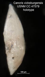 To NMNH Paleobiology Collection (Cancris vicksburgensis USNM CC 47579 holotype 2)