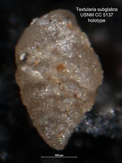 To NMNH Paleobiology Collection (Textularia subglabra USNM CC 5137 holotype)
