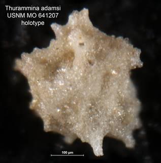 To NMNH Paleobiology Collection (Thurammina adamsi USNM MO 641207 holotype)