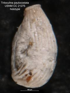 To NMNH Paleobiology Collection (Triloculina paulocostata USNM CC 21275 holotype)
