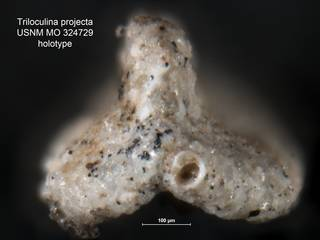 To NMNH Paleobiology Collection (Triloculina projecta USNM MO 324729 holotype ap)