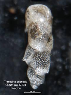 To NMNH Paleobiology Collection (Trimosina orientalis USNM CC 17294 holo 2)