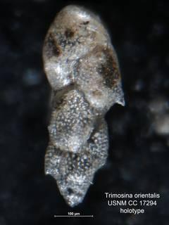 To NMNH Paleobiology Collection (Trimosina orientalis USNM CC 17294 holo 1)