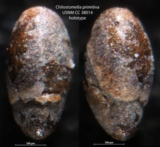 To NMNH Paleobiology Collection (Chilostomella primitiva USNM CC 38014 holotype)