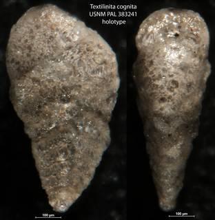 To NMNH Paleobiology Collection (Textilinita cognita USNM PAL 383241 holotype)