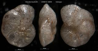 To NMNH Paleobiology Collection (Cibicides beadnelli USNM CC 58094 holotype)