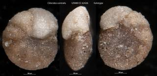 To NMNH Paleobiology Collection (Cibicides centralis USNM CC 62426 holotype)