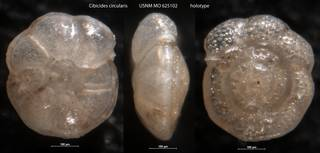 To NMNH Paleobiology Collection (Cibicides circularis USNM MO 625102 holotype)