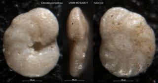 To NMNH Paleobiology Collection (Cibicides compressa USNM MO 626477 holotype)