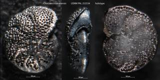 To NMNH Paleobiology Collection (Cibicides croatanensis USNM PAL 252534 holotype)