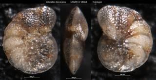 To NMNH Paleobiology Collection (Cibicides decoratus USNM CC 58068 holotype)