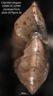 To NMNH Paleobiology Collection (Cibicides elegans USNM CC 62999 paratype pl26 f26)