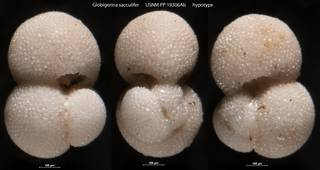 To NMNH Paleobiology Collection (Globigerina sacculifer USNM PP 19306Ab hypotype)