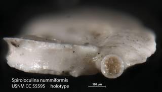 To NMNH Paleobiology Collection (Spiroloculina nummiformis USNM CC 55595 holotype 2)