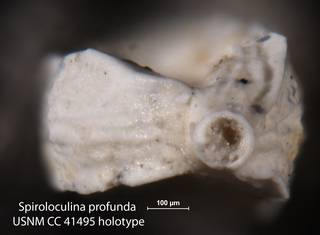 To NMNH Paleobiology Collection (Spiroloculina profunda USNM CC 41495 holotype 2)