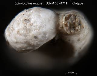 To NMNH Paleobiology Collection (Spiroloculina rugosa USNM CC 41711 holotype 2)