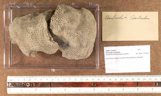 To NMNH Extant Collection (IZ USNM 1249762 topview)