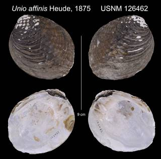 To NMNH Extant Collection (Unio affinis Heude, 1875         USNM 126462)