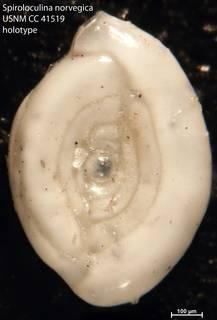 To NMNH Paleobiology Collection (Spiroloculina norvegica USNM CC 41519 holotype)