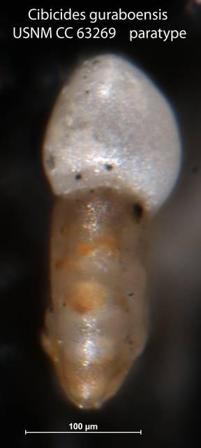 To NMNH Paleobiology Collection (Cibicides guraboensis USNM CC 63269 paratype p26 f32)