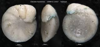 To NMNH Paleobiology Collection (Cibicides havanensis USNM CC 23427 holotype)