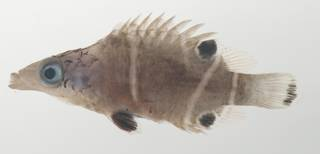 To NMNH Extant Collection (Wetmorella albofasciata USNM 435014 photograph lateral view)