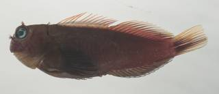 To NMNH Extant Collection (Cirripectes variolosus USNM 435083 photograph lateral view)