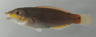 To NMNH Extant Collection (Stethojulis bandanensis USNM 435135 photograph lateral view)