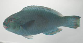 To NMNH Extant Collection (Chlorurus frontalis USNM 435168 photograph lateral view)