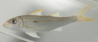To NMNH Extant Collection (Mulloidichthys flavolineatus USNM 435191 photograph lateral view)