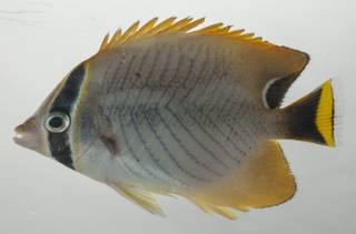 To NMNH Extant Collection (Chaetodon trifascialis USNM 435196 photograph lateral view)