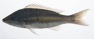 To NMNH Extant Collection (Pentapodus USNM 431517 lateral view)