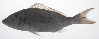 To NMNH Extant Collection (Lethrinus rubrioperculatus USNM 431523 lateral view)