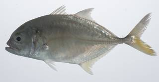 To NMNH Extant Collection (Caranx tille USNM 431563 lateral view)