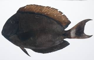 To NMNH Extant Collection (Acanthurus bariene USNM 431579 lateral view)