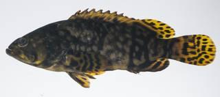 To NMNH Extant Collection (Epinephelus lanceolatus USNM 431627 lateral view)