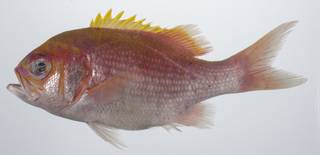 To NMNH Extant Collection (Odontanthias USNM 431648 lateral view)
