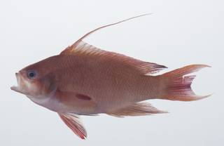 To NMNH Extant Collection (Pseudanthias squamipinnis USNM 431771 lateral view)