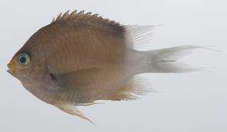 To NMNH Extant Collection (Pomacentrus USNM 431794 lateral view)